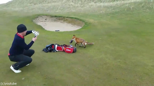 ゴルファーの財布を盗むキツネ03