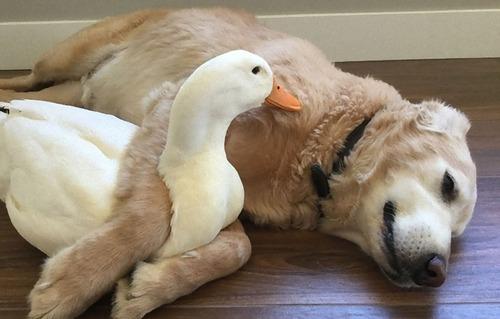 アヒルと犬が親友に01