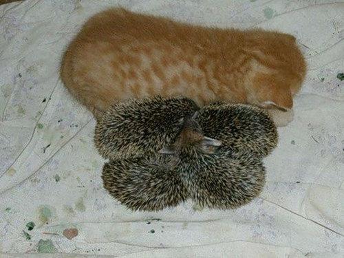 猫とハリネズミの赤ちゃん04