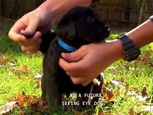 サービス犬の子犬00