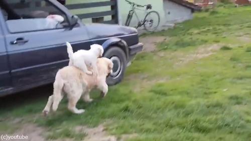 背中に乗るのが好きな子犬02