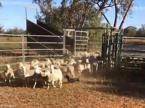 牧羊犬はダックスフンド02
