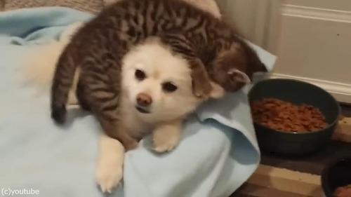無邪気な子猫の遊びに(仕方なく)付き合うポメラニアン03