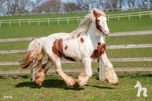死にかけていた馬が神々しいほど美しくなる07