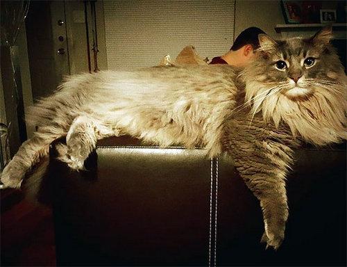 ソファに寝そべっているメインクーン