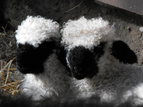 世界一かわいい羊07