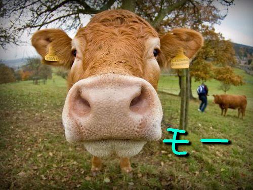 牛の新しい洗い方00