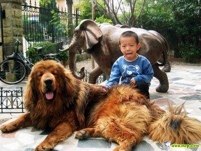 ライオンみたいなチベットの犬02