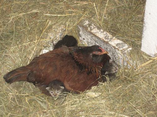 ニワトリが子猫4匹を温めてた…00