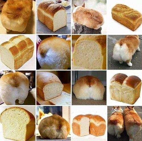 コーギーの後姿は食パンみたい08