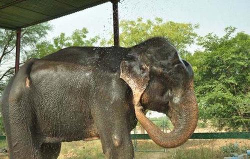 50年間インドで監禁されていたゾウが救出される10