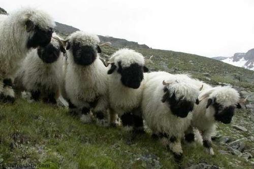 世界一かわいい羊05