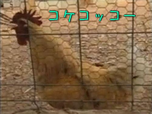ニワトリの「コッケコッコー」00