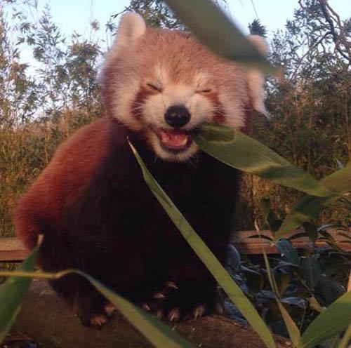 笹を食べるレッサーパンダ01