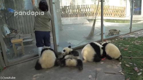 子パンダたちの前で掃き掃除02