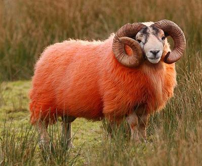 目の覚めるような真っ赤な羊の群れ04