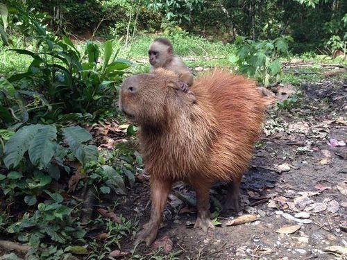 カピバラと他の動物たち14