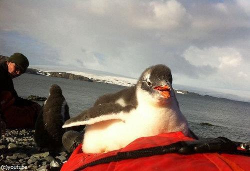 ペンギンのひなが乗ってきた08