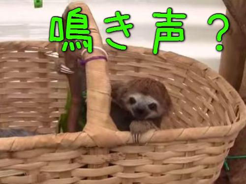 ナマケモノの赤ちゃんの声00