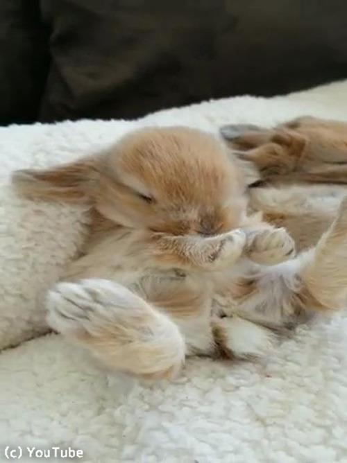 お昼寝中のウサギ、絶対夢の中でニンジン食べてる03