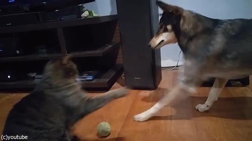 ボールで遊びたい犬と猫02