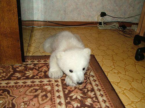 白くまの赤ちゃん03