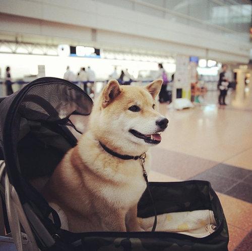 柴犬を飼う理由23