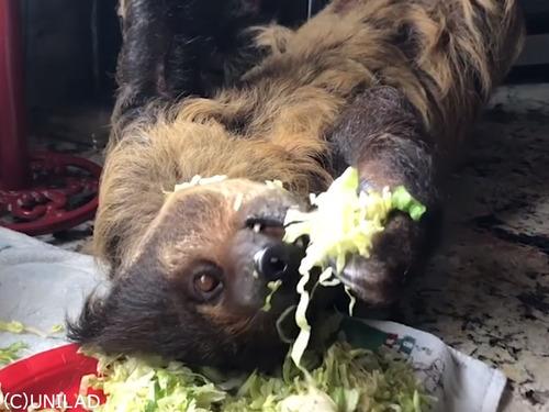 台所でサラダを食べるナマケモノ00