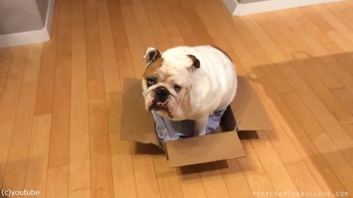 ブルドッグ「どうしてもこの箱が好きなんです」01