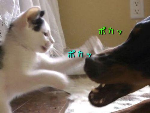 子猫vsドーベルマン