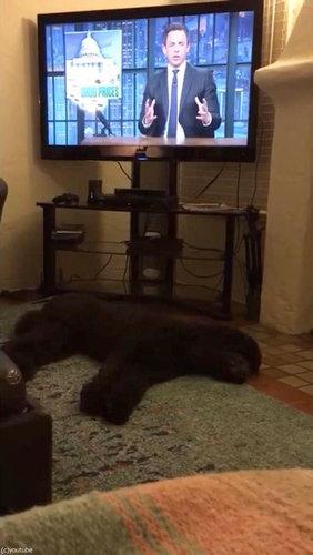 テレビが消えると「よいこは寝る時間」と自室に戻る犬07