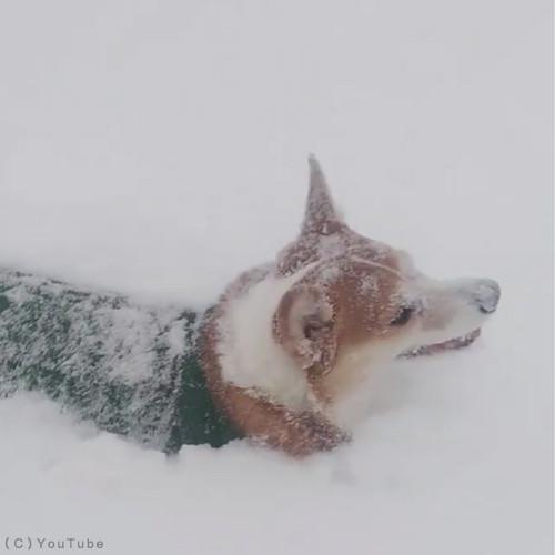 雪遊びコーギー05