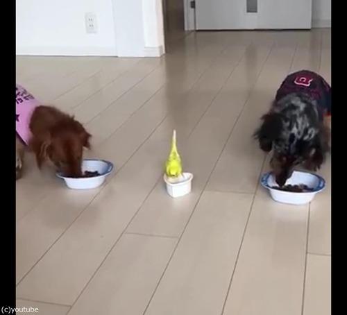 犬と並んでご飯を食べるインコ05