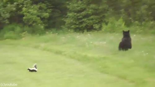 絶体絶命のスカンクがクマを撃退する瞬間04