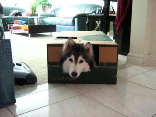猫みたいなハスキー犬02
