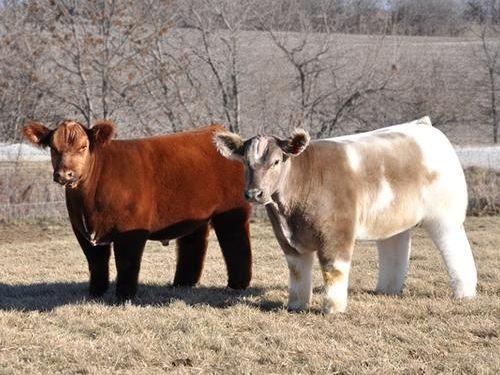 モフモフの牛05