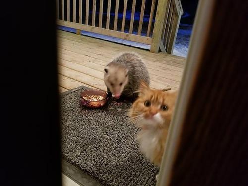 オポッサムにエサを奪われた猫06