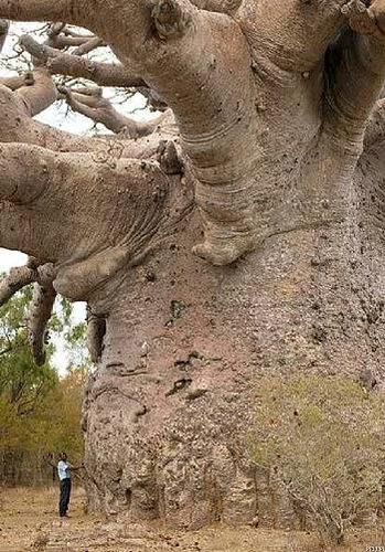 バオバブの木05