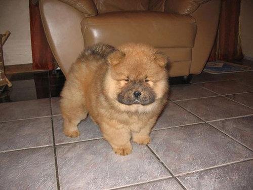 テディベアそっくりな子犬15