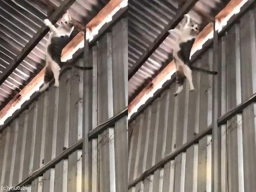 落下する猫をダンボールでキャッチ01