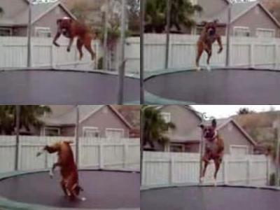 トランポリン犬