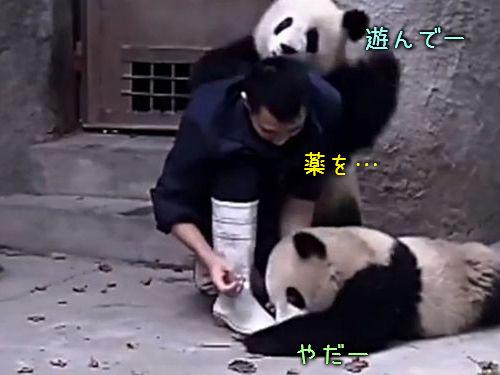 パンダに薬を飲ませる00