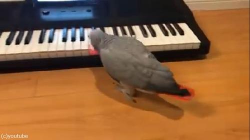 ペットのインコ、キーボード奏者になる02