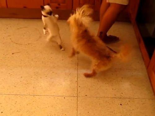 犬に猛アタックする猫01