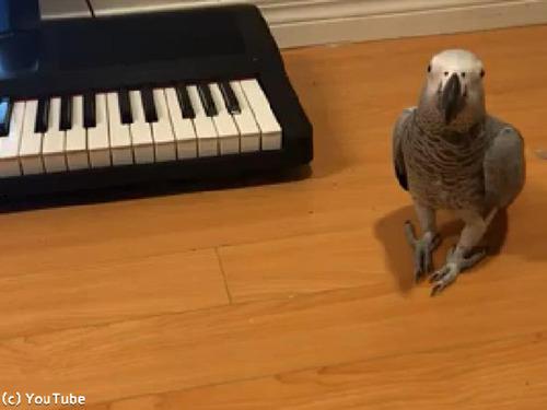 ペットのインコ、キーボード奏者になる00