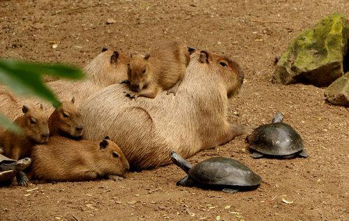 他の動物と仲良しのカピバラ08