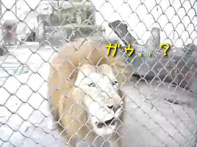 ライオンの吼え方