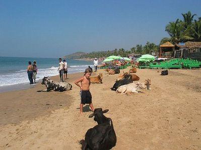リゾート・ビーチに牛18