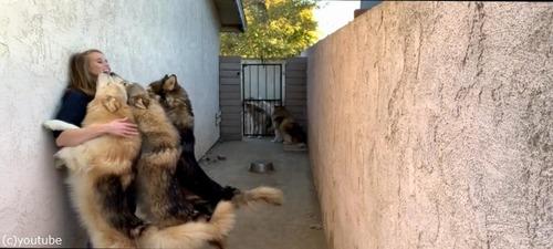 オオカミ犬、大きいけどめちゃくちゃ甘えん坊03