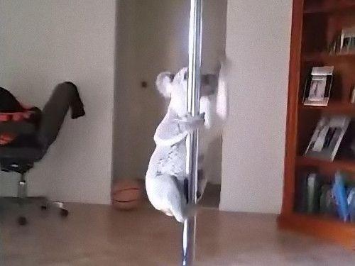 コアラのポールダンス06